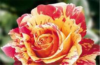 pestrocvetnye-rozy.jpg