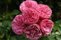 rozy-floribunda.jpg