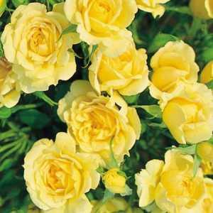 Флорибунда роза желтая сорта