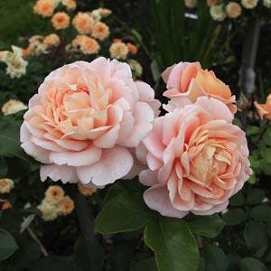 zangenxayzer-yubileyum-roze.jpg