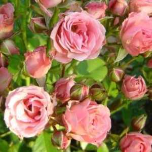 Купить саженцы розы-спрей купить цветы в горловке
